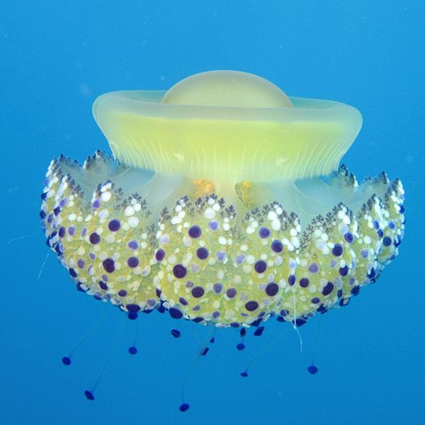 600px-Cassiopea_Jellyfish_Cotylorhiza_tuberculata_-_Mar_Jonio_Italy